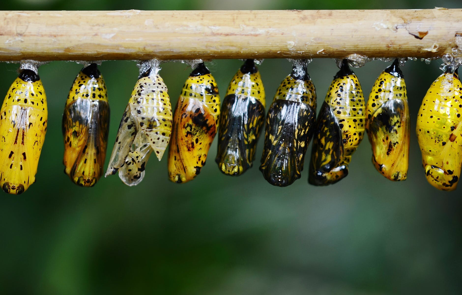 Butterfly cocoons emerging