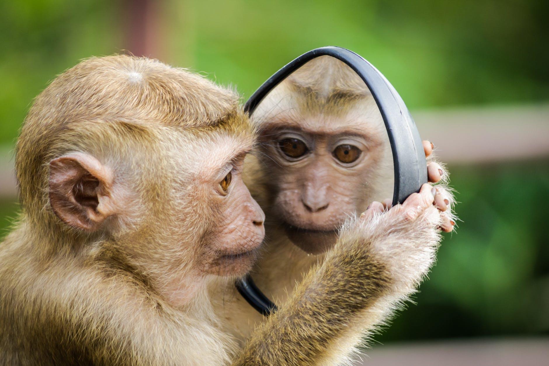 Monkey looks in the mirror