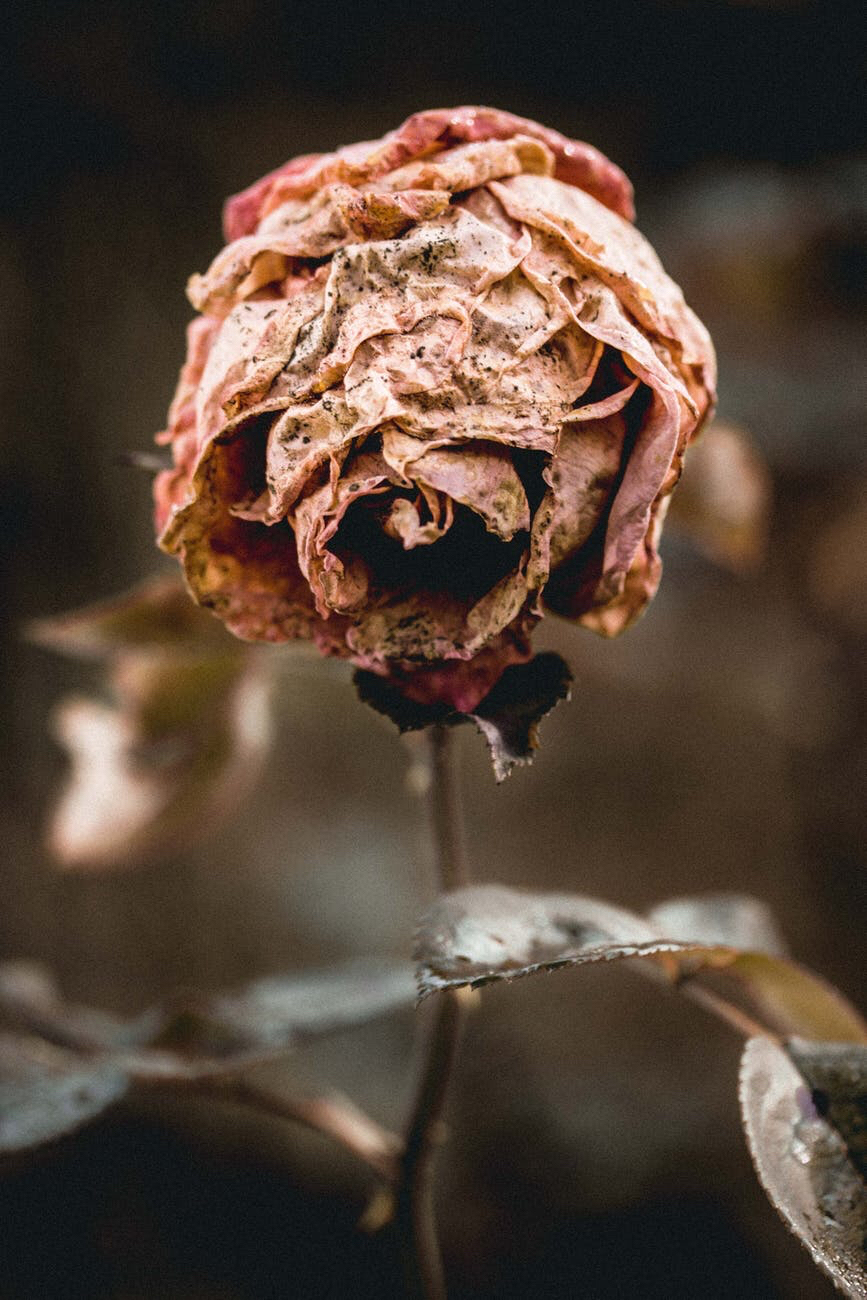 Wilted rose 🥀