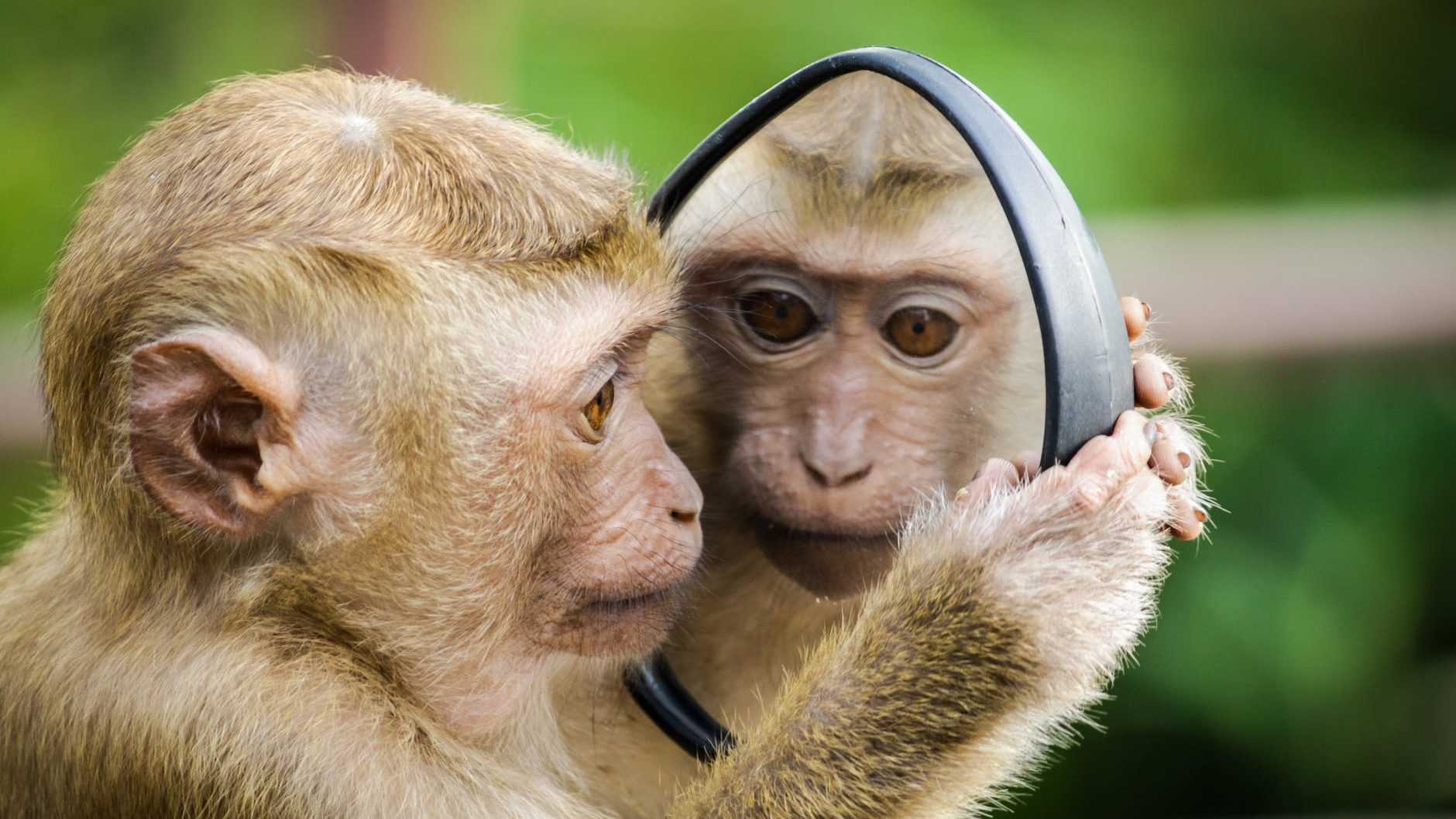 closeup photo of primate looking in a mirror.  Our dating behaviours evolve from our early ancestors